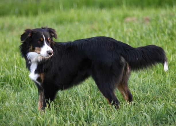 english-english-shepherd-dog-in-the-field-breed